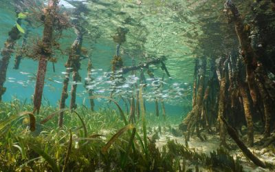 Mangroves and Seagrass Beds, are they filters, shelters…? They're both!